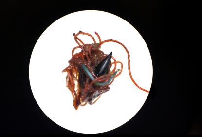 Plastics wrapped around a squid beak found in a Northern Fulmar. 2015
